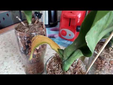 Реанимация орхидей в ЦеоФлоре за месяц