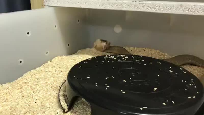 Friendly monocled cobra =