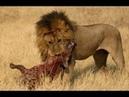 Большие боевые гиены против Львов реальная борьба до смерти Гиена, Лев, Тигры 2019