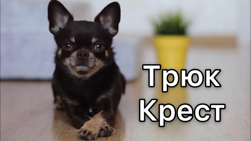 Учим собаку скрещивать лапки. Трюк Тик-Так. Дрессировка собак