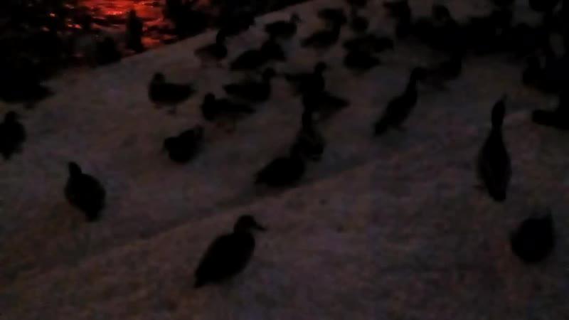 Екатеринбург. Плотинка. Уточки. (13.11.19, 18:13)