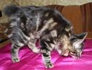 Питомник Bobcat-Orel предлагает шикарных мальчиков лесного окраса -черный мрамор, мрамор ярко выраже