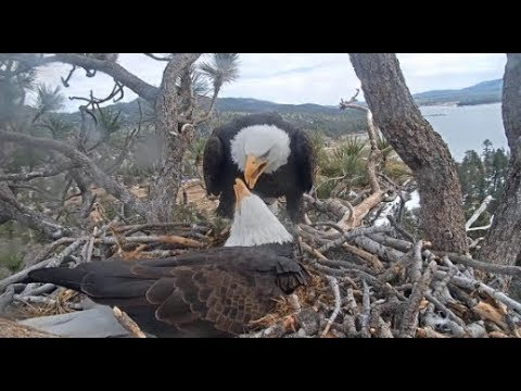 Big Bear Eagles ~ Sweet Conversations Between Shadow Jackie 💖 Soft Fluff Pine For Future Babies
