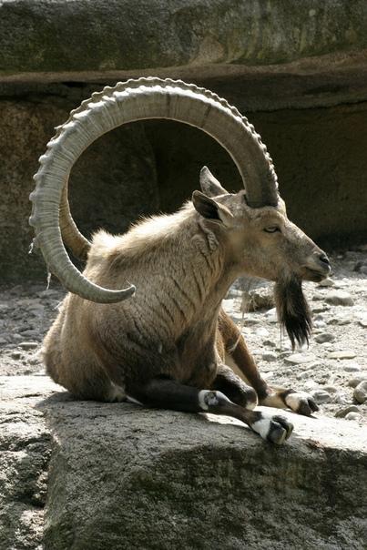 Альпийский горный козёл, или ибекс (Capra ibex)