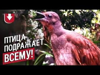 Птица издает звуки, в которые трудно поверить!