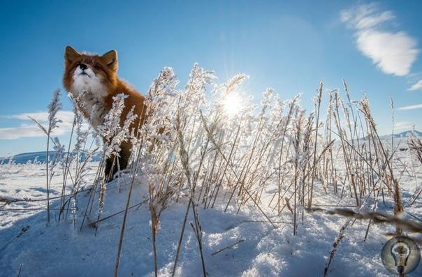 Лисички-сестрички Российский фотограф Иван Кислов живет в Магадане и работает горным инженером. Он трудится вахтовым методом и в свободное время любит, как он выражается, «для отдыха от рутины»