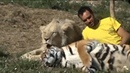 Хищники и человек лучшие друзья Белый лев тигр и человек