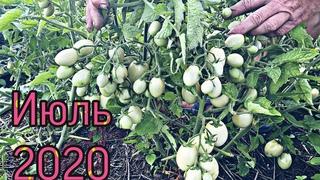 Томаты. 9 урожайных сортов открытого грунта