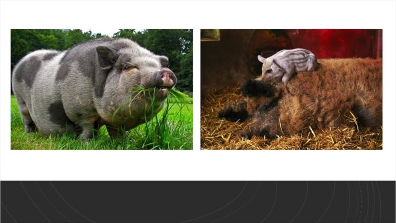 Лекция об одомашнивании свиней