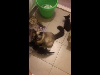 Отдам бесплатно красивых котят. Мама сиамская, пап...