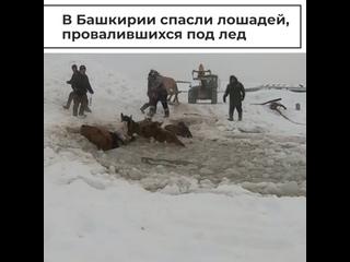 Спасение лошадей, провалившихся под лед