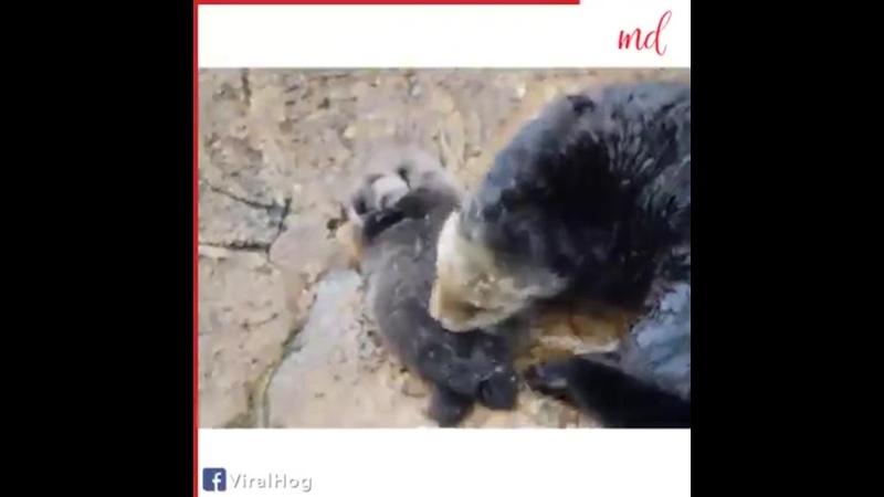щенки морской выдры не знают как плавать Они спят на маме которая плывет куда они захотят