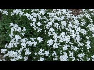 Арабис в майском саду