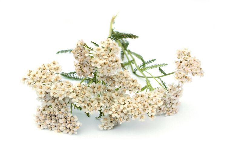 Тысячелистник обыкновенный (лекарственный) - лечебные свойства, рецепты, применение