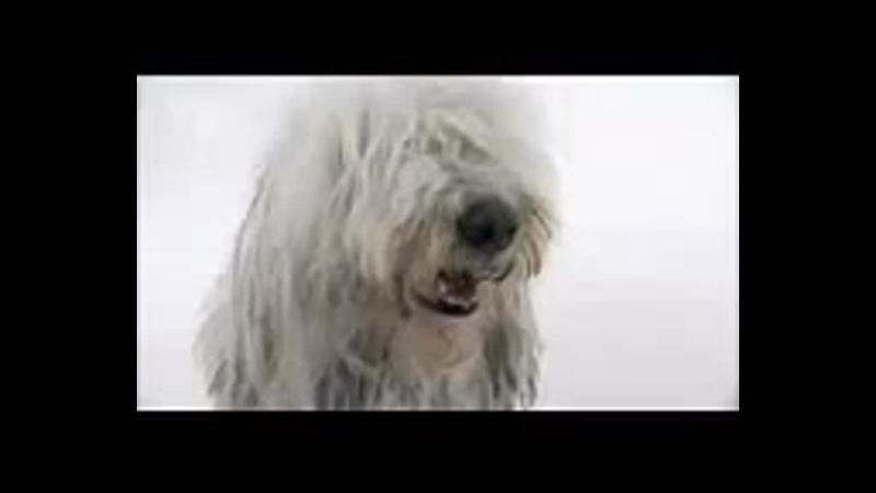 Комондор все породы собак 101 dogs Введение в собаковедение