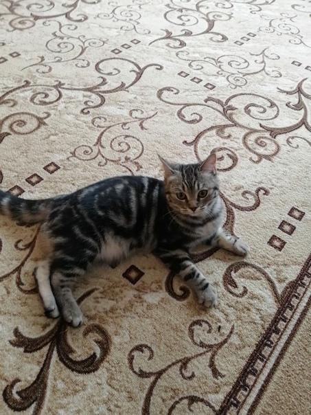 Потерялась кошка на улице Соколова, кто вилел или ...