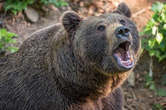 В Кезском районе медведь напал на местного