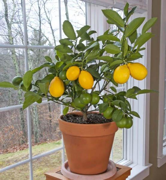 FrHir4ZfW7Y - Как я выбирал лимонное дерево