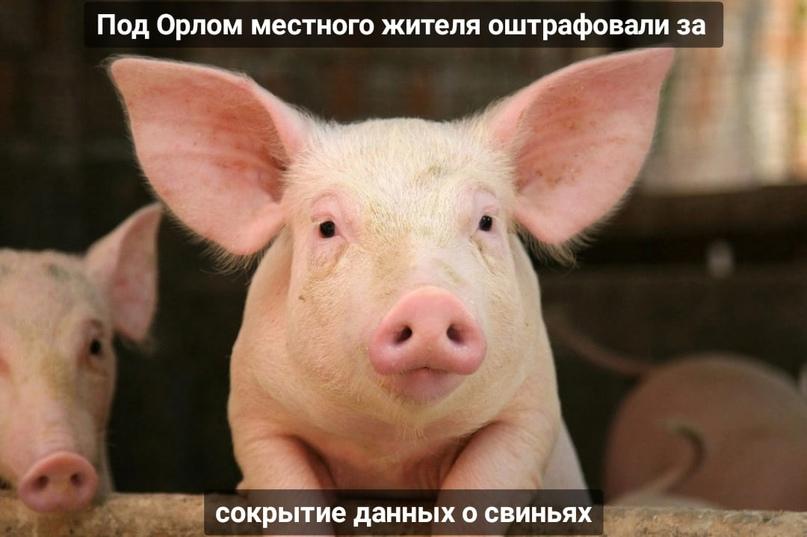 Под Орлом местного жителя оштрафовали за сокрытие данных о свиньях