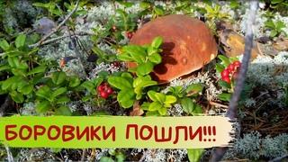 БОРОВИКИ пошли на белых мхах / Белые грибы / Карелия / Сбор грибов
