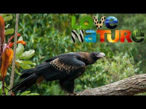 Love Nature Дикие птицы Австралии Ареал хищников Документальний фильм про птиц 720 HD