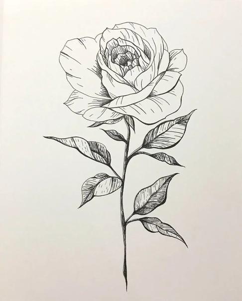 drawings of roses - 735×915