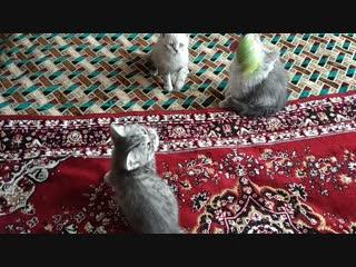 Продаем шотландских котят Казань.