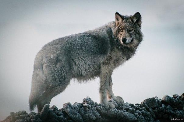 это фото со смыслом орлов и волков славятся своей роскошной