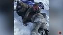 Зверская охота. Браконьеры убивали лося и снимали это на телефон.