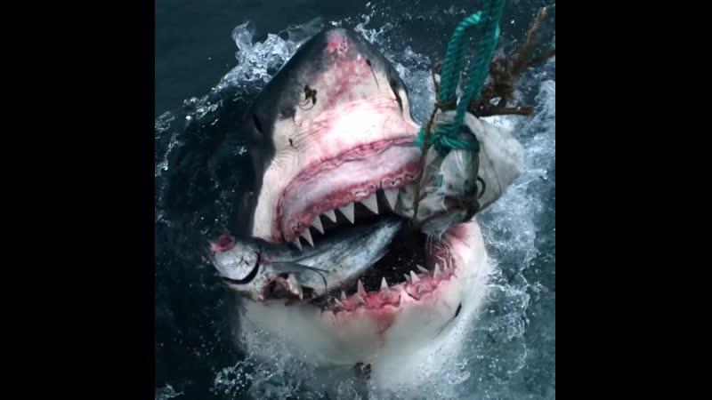 Белая акула Animal Planet